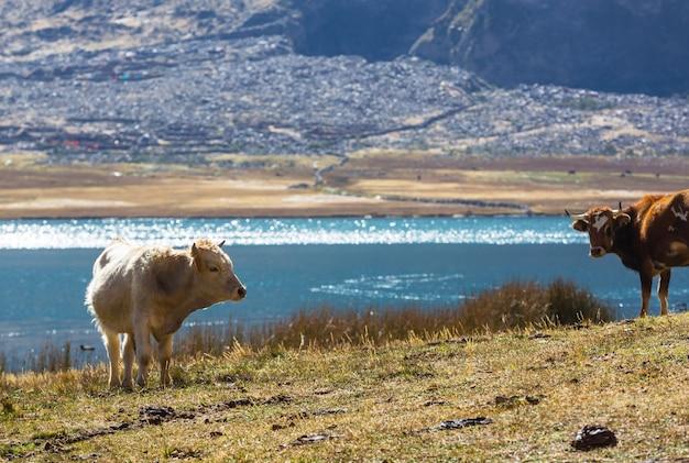 夏の緑の野原での牛の群れ。農業農業農村牧草地