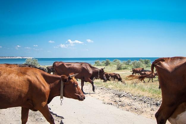 Стадо коров переходят дорогу без пастуха красные коровы на фоне моря солнечный день