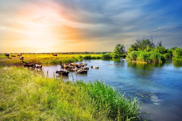 Стадо коров выходит из озера на закате