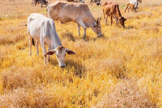 소의 무리는 언덕이 많은 풍경과 초원에서 맑은 날에 목초지에서 방목합니다.