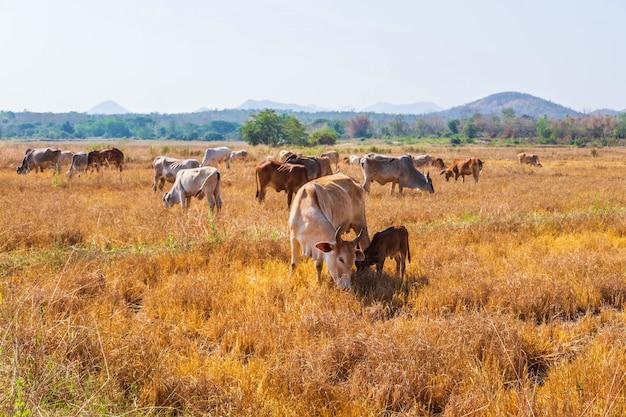 牛の群れは、晴れた日に丘陵の風景や牧草地の草原で放牧されます。