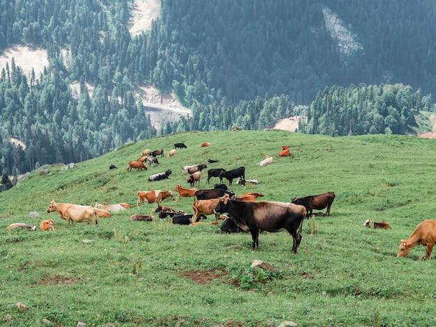山で牛の群れが放牧