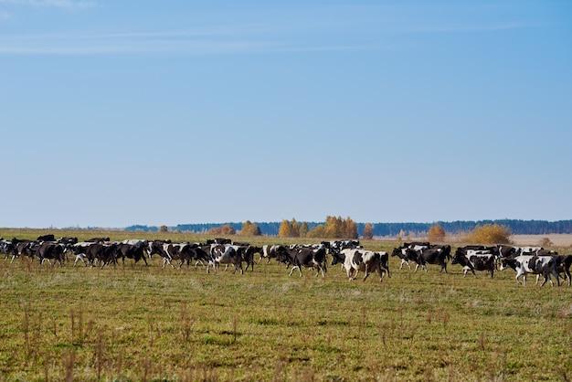 緑の野原で放牧している牛の群れ