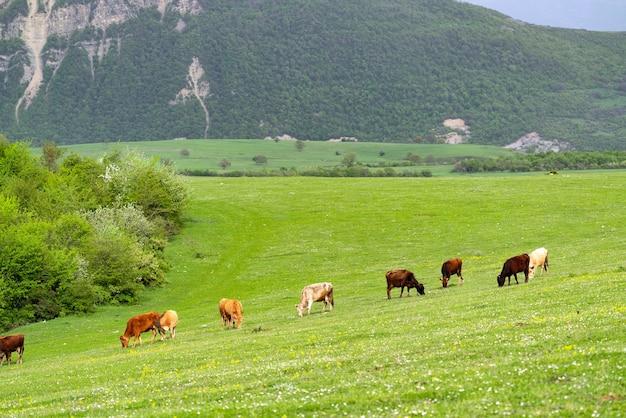 녹색 초원에서 방목하는 소 떼