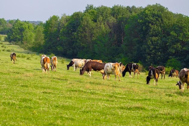 夏のフィールドの真ん中に放牧牛の群れ