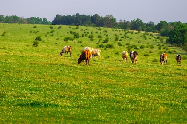 夏に畑の真ん中で放牧している牛の群れ。