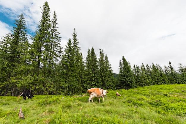 Стадо коров, пасущихся в горах