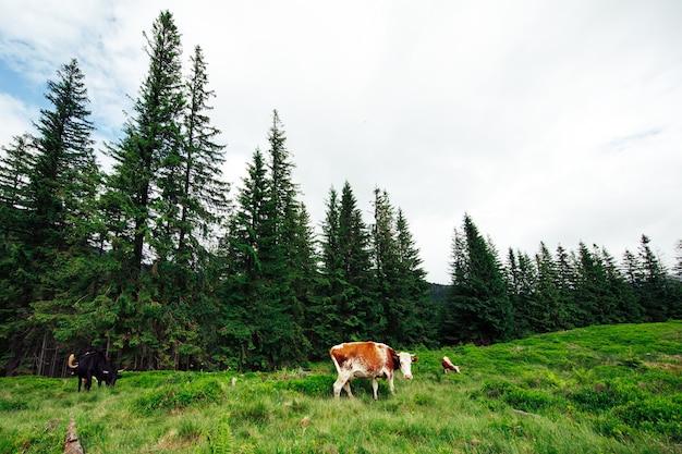 산에서 풀을 뜯는 소 떼