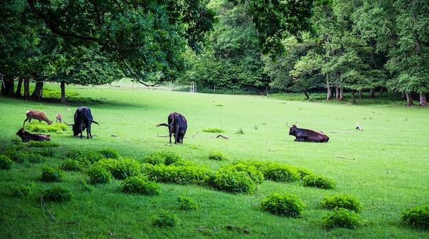 아름다운 녹색 잔디에 방목하는 소의 무리