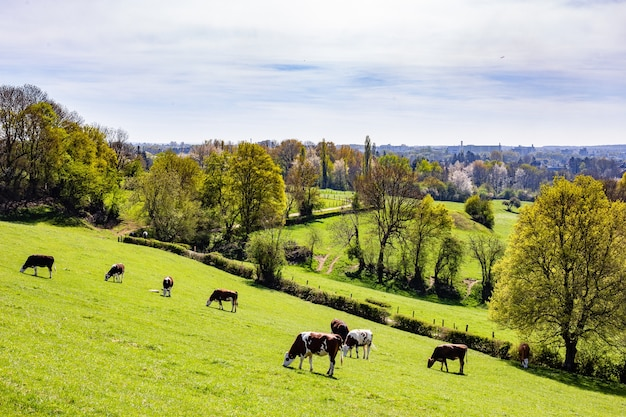 Стадо коров, пасущихся на пастбище в дневное время
