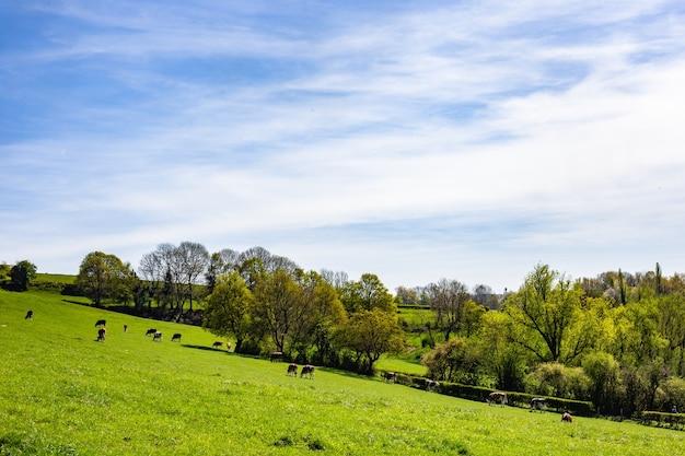 낮 동안 목초지에 방목하는 소의 무리