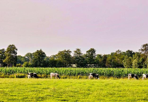 Стадо коров, пасущихся на пастбище с красивыми зелеными деревьями на заднем плане
