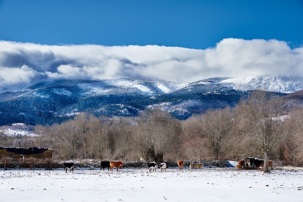 Стадо коров на зимнем поле