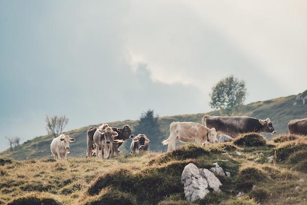 Стадо коров на итальянском пастбище