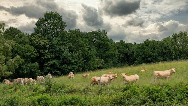 田舎の牛の群れ