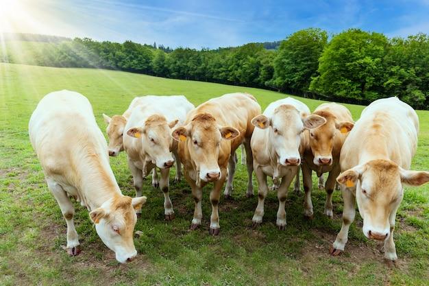 여름 목장에서 소의 무리