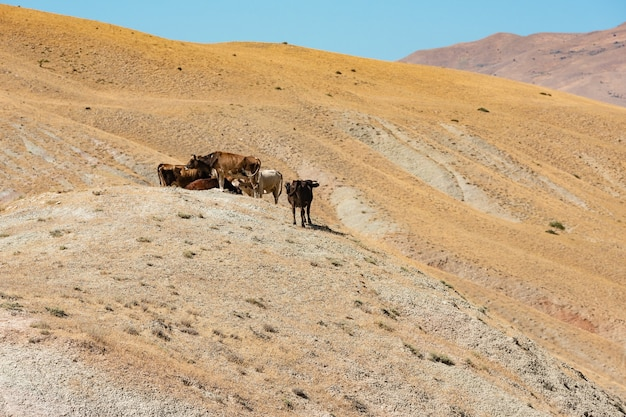 Стадо коров на склоне горы