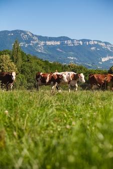 Стадо коров, производящих молоко для сыра грюйер во франции весной