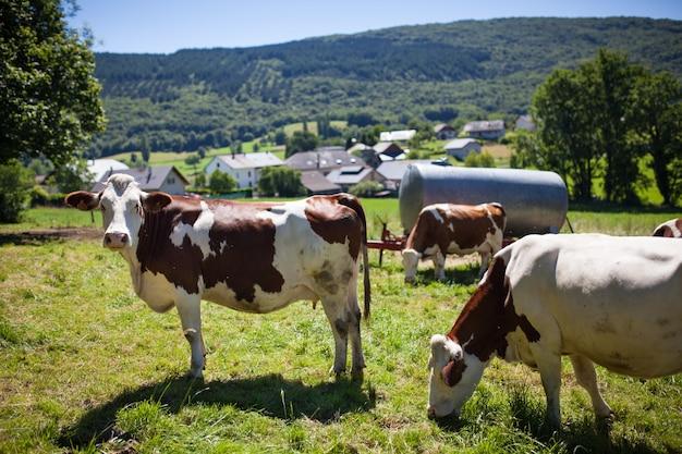 春にフランスでグリュイエールチーズのミルクを生産する牛の群れ 無料写真