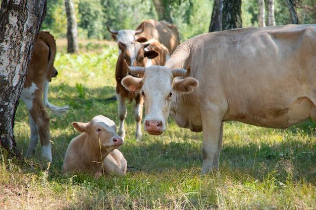 Стадо коров с телятами среди деревьев, коровы, быки и телята отдыхают среди деревьев