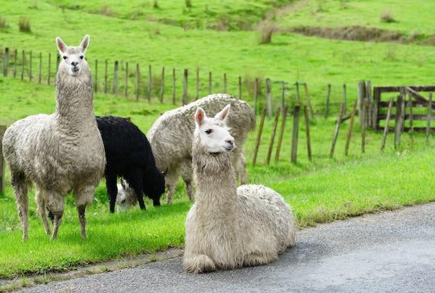 ニュージーランドの北島、ファンガヌイの道路沿いにいる国内のラマの群れ