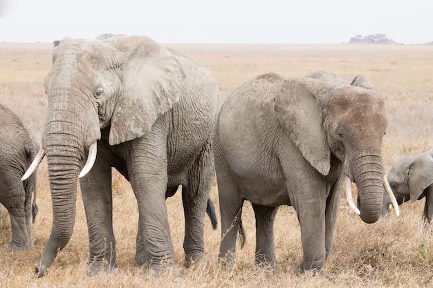 アフリカ、タンザニアのセレンゲティ国立公園からの象の群れ。アフリカの野生生物