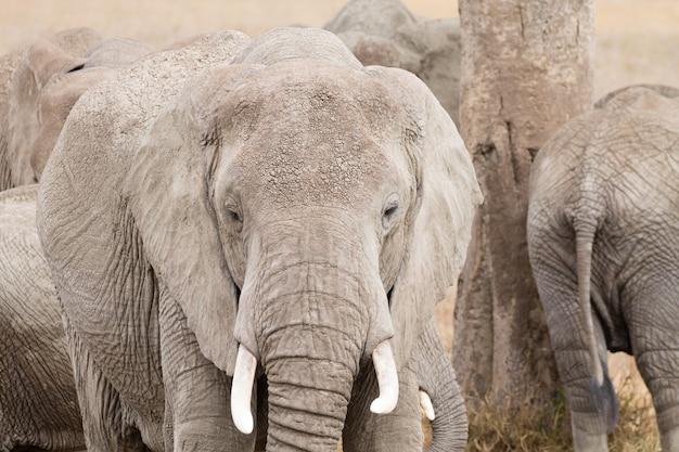 アフリカ、タンザニアのセレンゲティ国立公園からの象の群れ