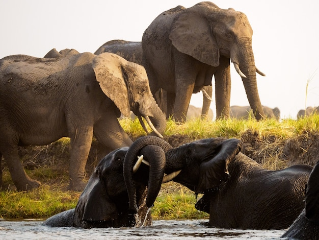 Стадо слонов в африке гуляет по траве в национальном парке тарангире