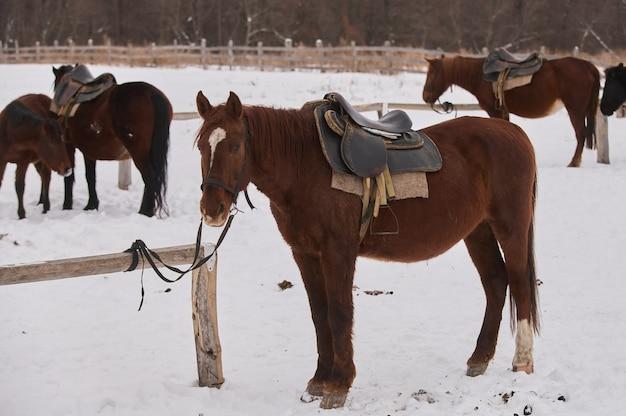 真冬の雪に覆われた牧草地の子馬の群れ。