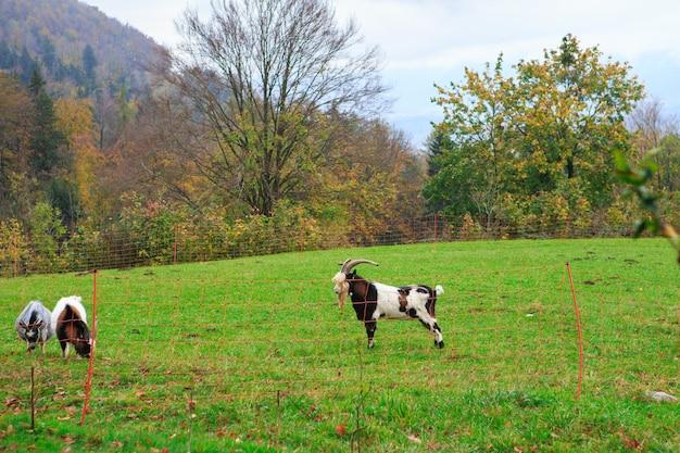 Стадо коз и овец пасутся в горной альпийской деревне
