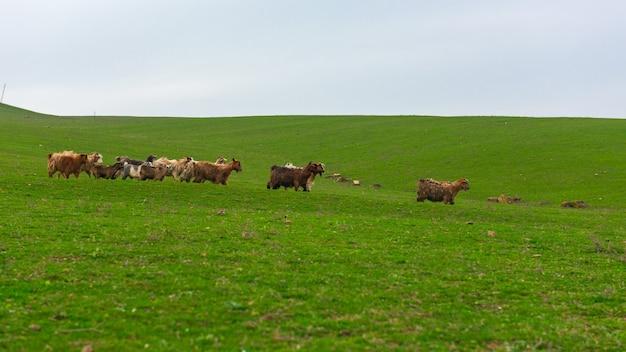 緑の丘の山羊の群れ