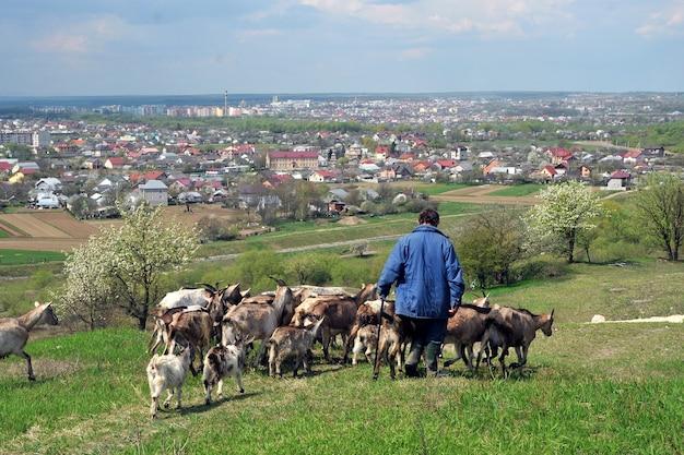 羊飼いのいる山羊の群れが街の近くの牧草地から戻ってきます