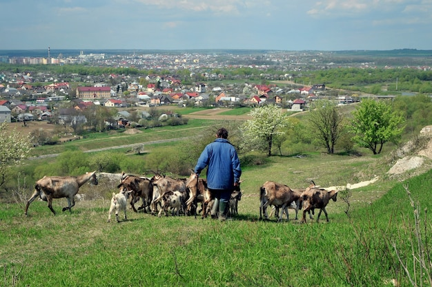 羊飼いのいる山羊の群れが牧草地から戻ってきた