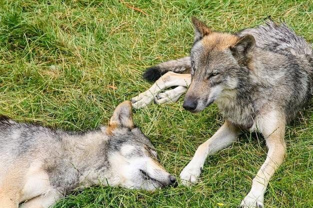 緑の草で休んでいる灰色のオオカミの群れ。群れ