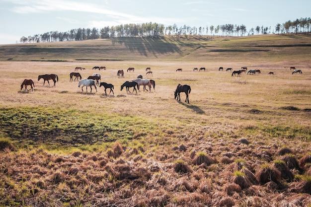 馬の群れは太陽の下で牧草地で放牧します