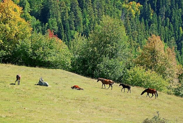 Табун лошадей, пасущихся на лугу в горной ферме города местия, регион сванети, грузия
