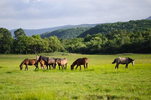 緑の牧草地に放牧の馬の群れ