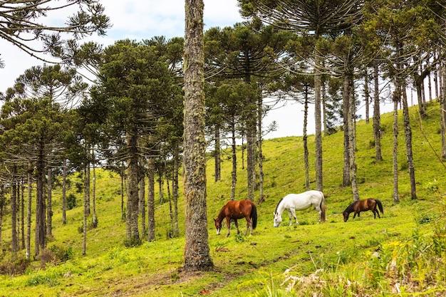 아라우카리아 소나무 근처 목초지에서 풀을 뜯는 말 무리