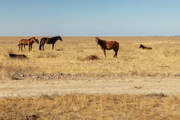 カザフスタンの草原の馬の群れ
