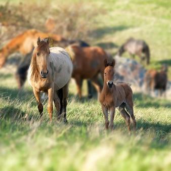 緑の草とフィールドでカメラを見ている馬の群れ
