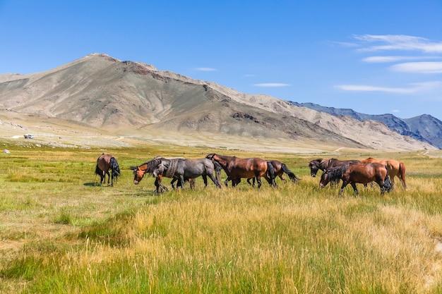 Табун лошадей на горных лугах монгольского алтая.