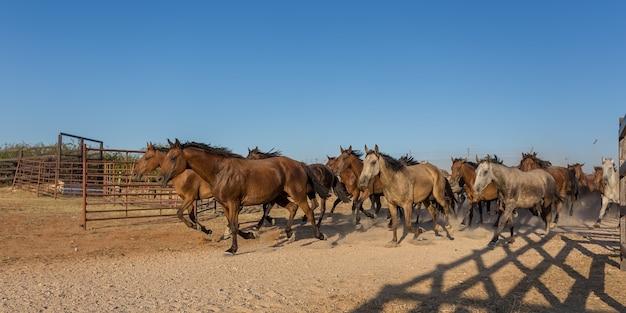 馬の群れが囲いの中を走っています。