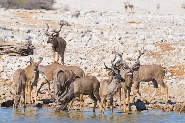 흠뻑 빠지거나에서 마시는 kudu의 무리.