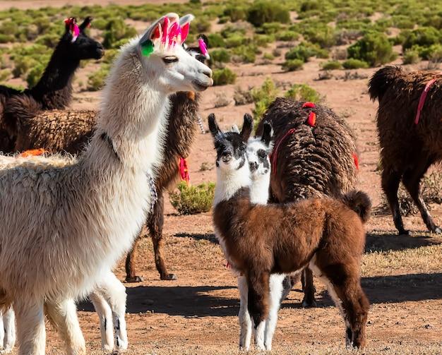 緑の谷でリラックスしたラマの群れ。アルティプラノ、ボリビア、南アメリカ