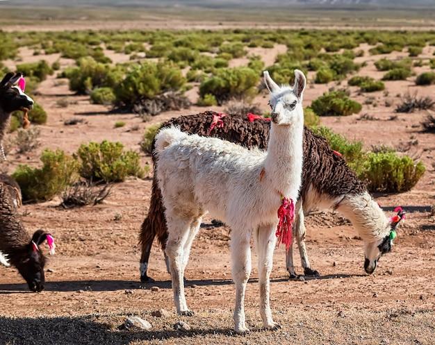 ラマの群れ。ボリビアのアルティプラノの秋の砂漠の風景。南米アンデス