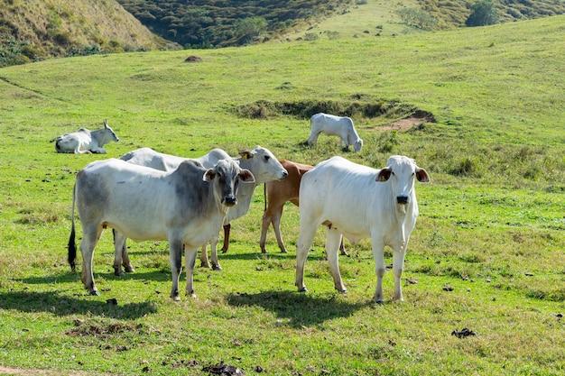 살육을 위해 사육되는 nellore 소 무리. 브라질의 가축과 경제.