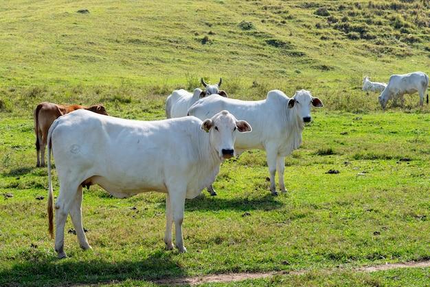 肥育のために飼育されているネロール牛の群れ。ブラジルの家畜と経済。
