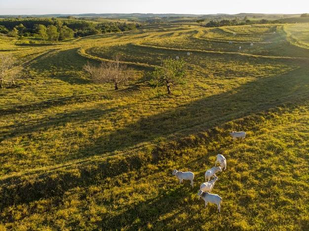 日没のブラジルの牧草地に牛の群れ。