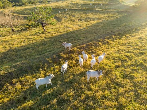 日没時のブラジルの牧草地の牛の群れ。