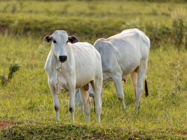 ブラジルの牧草地にいる牛の群れ。